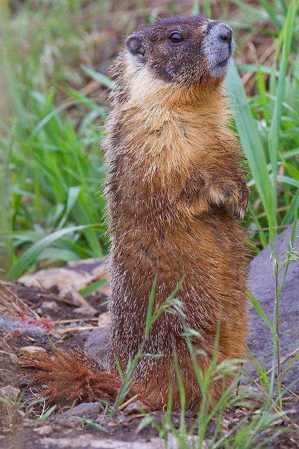 Marmot Photograph - Marmot Love by Naman Imagery