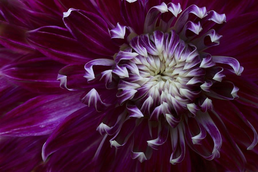 Dahlia Photograph - Maroon Dahlia by Kathleen Clemons
