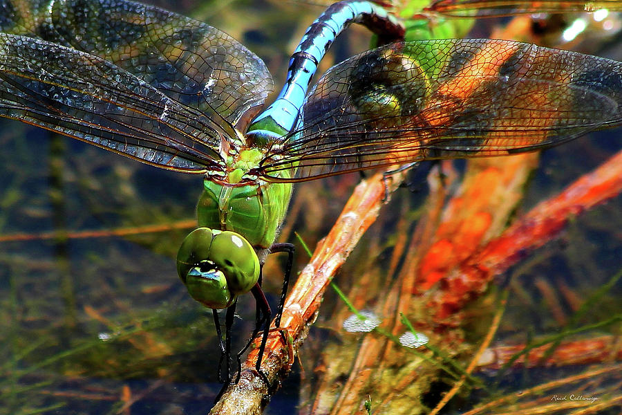 Married With Children Dragonflies Mating by Reid Callaway