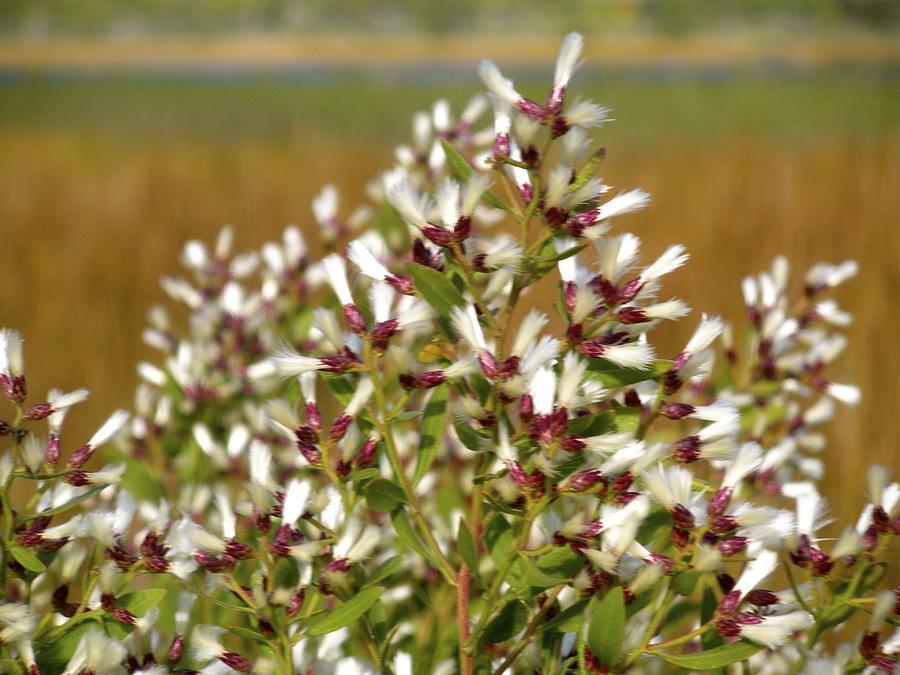 Marsh Blooms Photograph by Belinda Jane