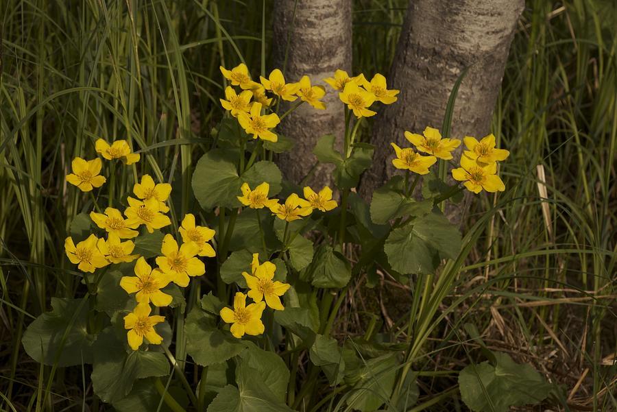 Marsh Marigolds Photograph - Marsh Marigolds 09 by Jack Gantzel