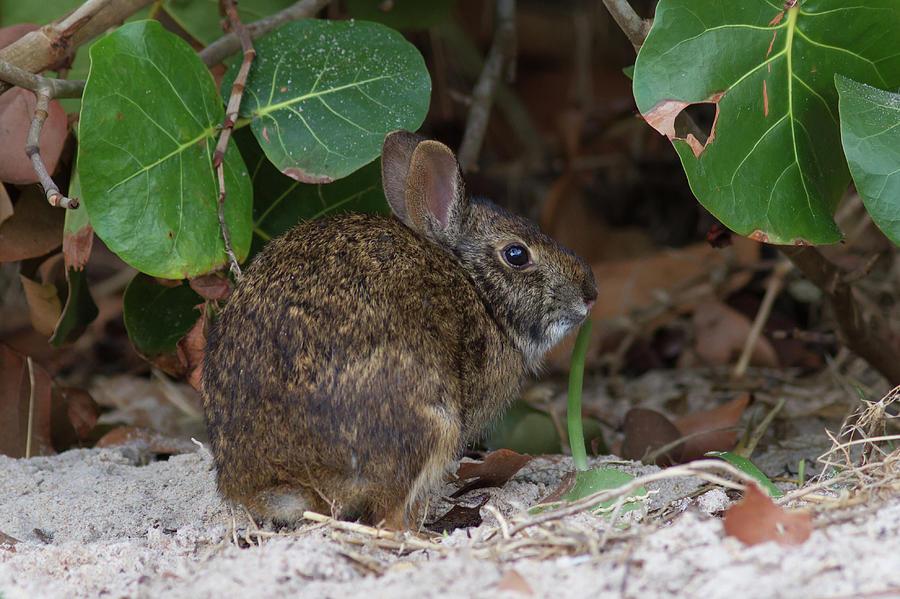Marsh Rabbit And Sea Grape Photograph