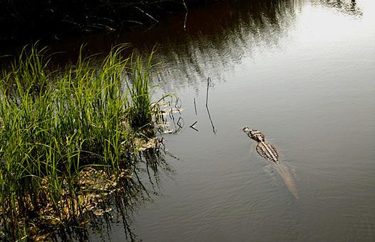 Nature Photograph - Marsh Thing by Kelley Swinney