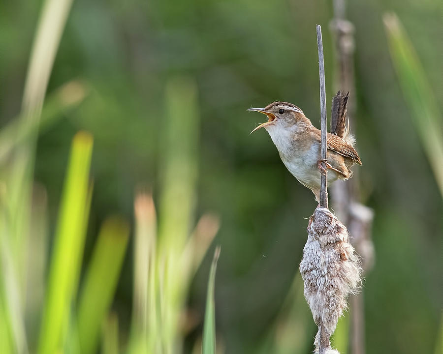 Marsh Wren Singing by Jim Zablotny