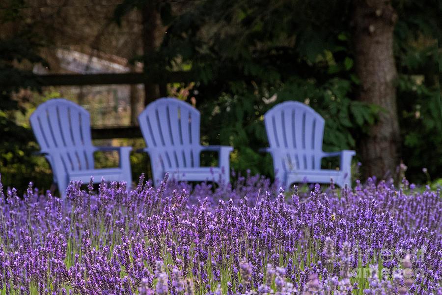 Lavender Photograph   Martha Lane Lavender Adirondeck Chairs By Louise Magno