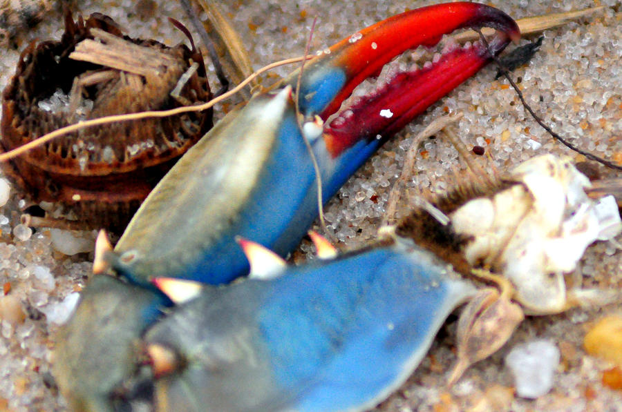 Claw Photograph - Maryland Blue Claw by Darin Bokeno