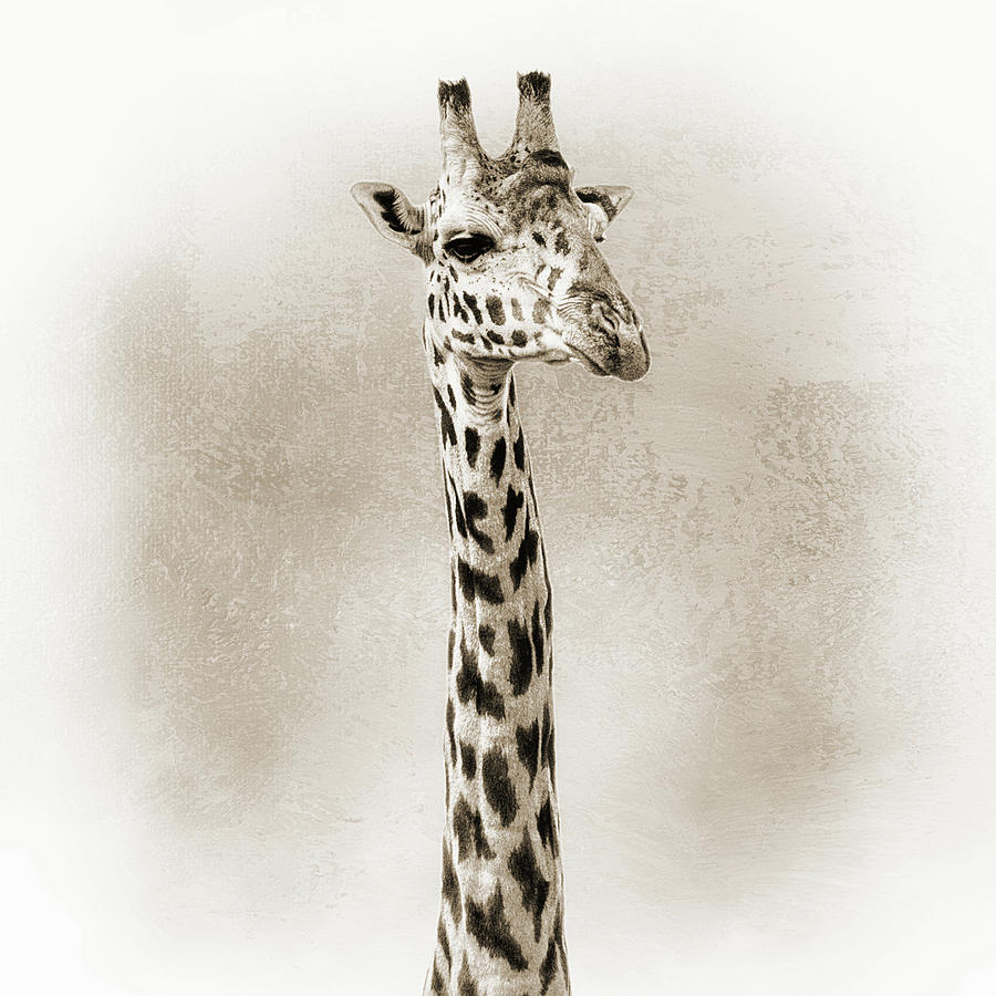 Animal Photograph - Masai Giraffe Closeup Square Sepia by Susan Schmitz