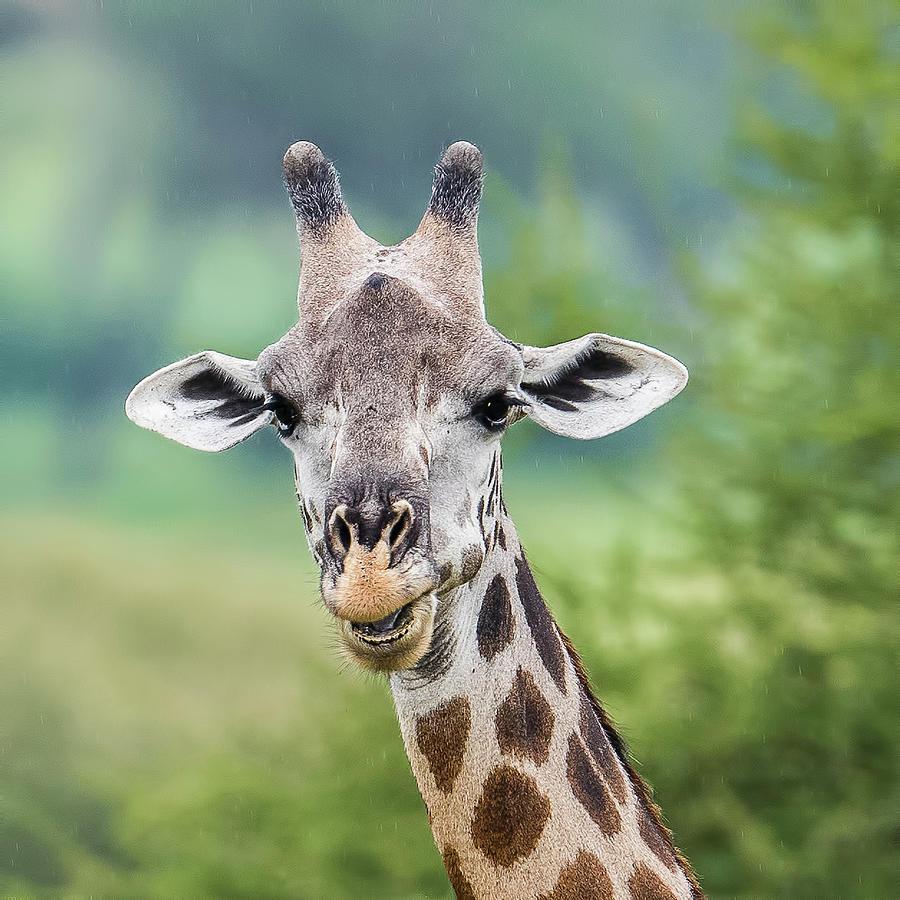 Masai Giraffe Photograph - Masai Giraffe Portrait by Morris Finkelstein