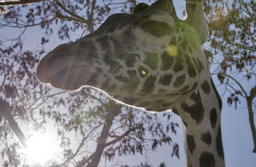 Masai Giraffe Up Close And Personal Photograph