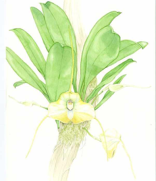 Botanical Orchid Painting - Masdevallia Sanctae-inesae by Darren James Sturrock