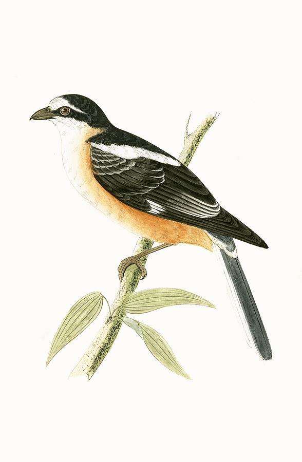 Bird Painting - Masked Shrike by English School