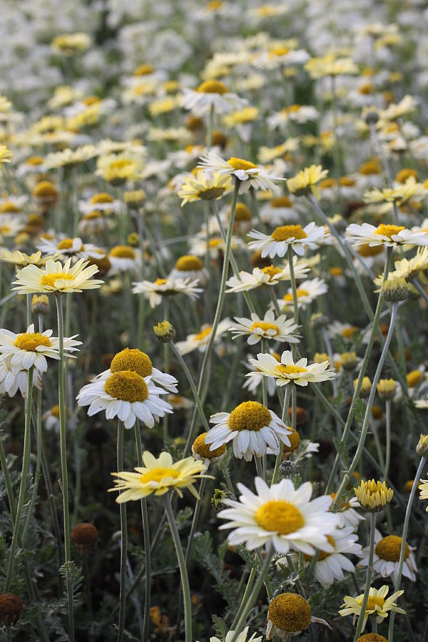 Daisy Photograph - Mass Of Daisies by Denice Breaux