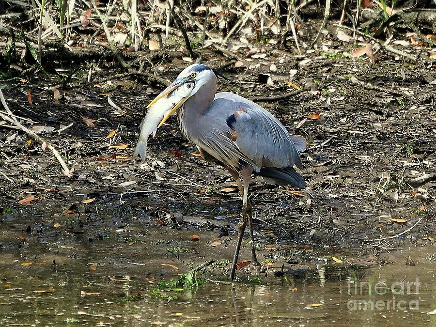 Great Blue Heron Photograph - Massive Meal by Al Powell Photography USA
