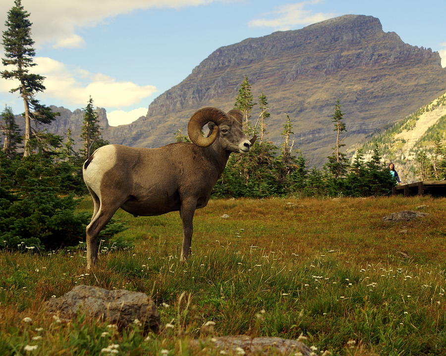 Big Horn Sheep Photograph - Master Of His Domain by Marty Koch