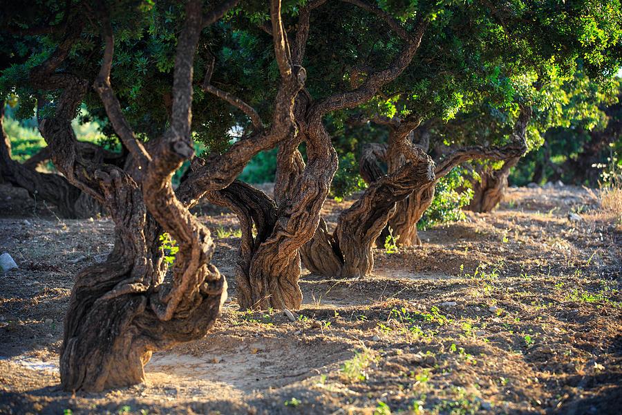 Mastic (plant Resin) Photograph - Mastic Tree   by Emmanuel Panagiotakis