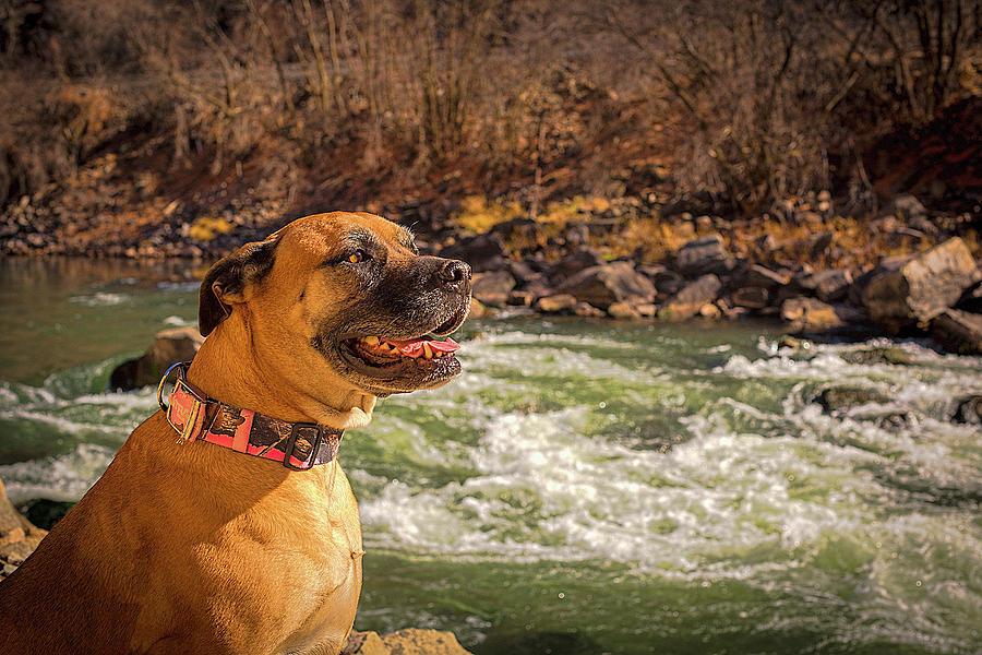 Mastiff Sunshine Photograph