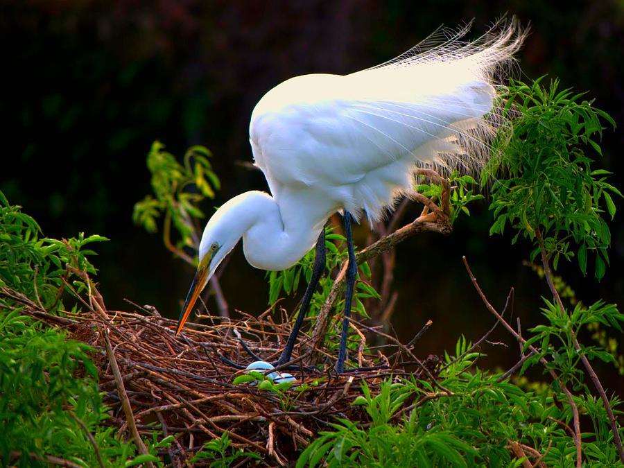 Great White Egret Photograph - Maternal Instinct by Jennifer A Garcia