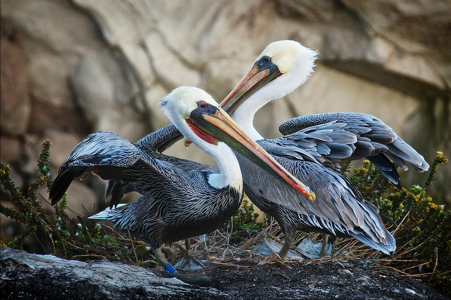 Nature Photograph - Mates, California Brown Pelicans by Zayne Diamond Photographic
