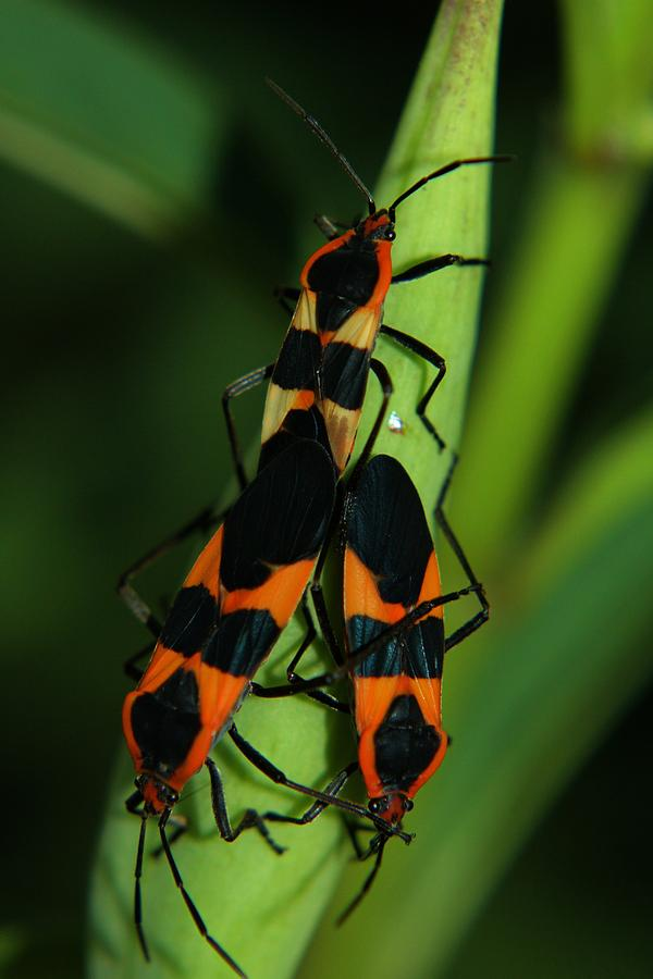 Milkweed Photograph - Mating Milkweed Bugs by April Wietrecki Green