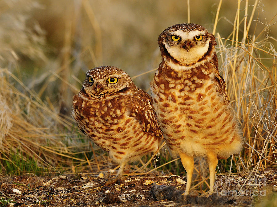 Bird Photograph - Mating Pair Of Burrowing Owls by Dennis Hammer