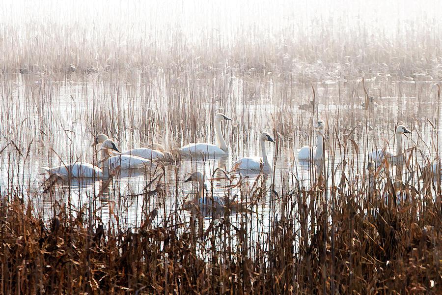 Swan Photograph - Mattamuskeet Hideaway by Mike Kennedy