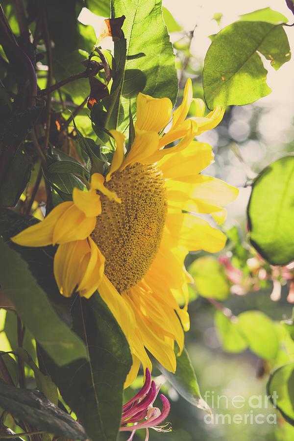 Matte Sunflower Photograph
