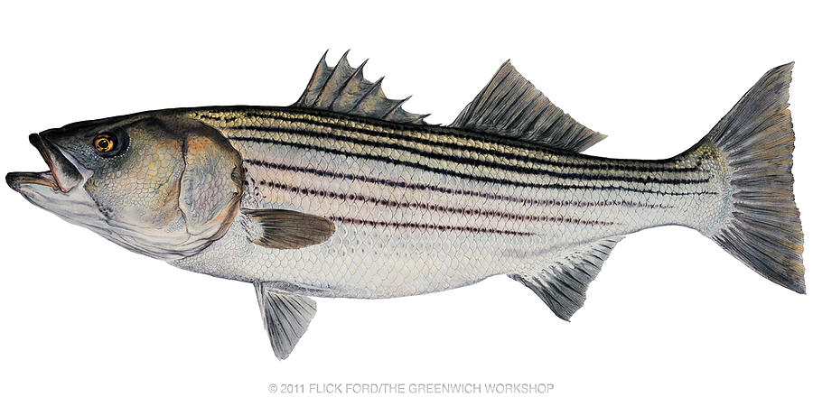 Mature striped bass painting by flick ford for Striper fish pictures