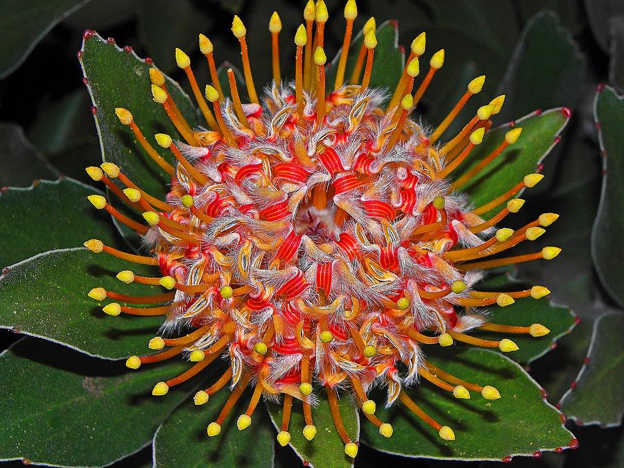 Flowers Photograph - Maui Protea I by Elizabeth Hoskinson