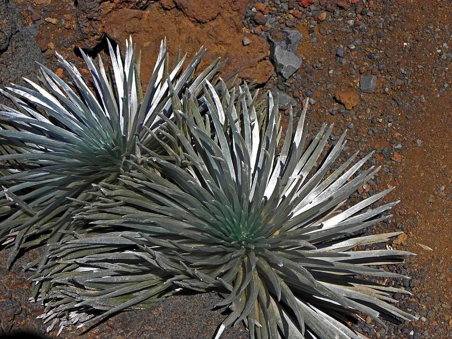 Plants Photograph - Maui Silversword by Elizabeth Hoskinson