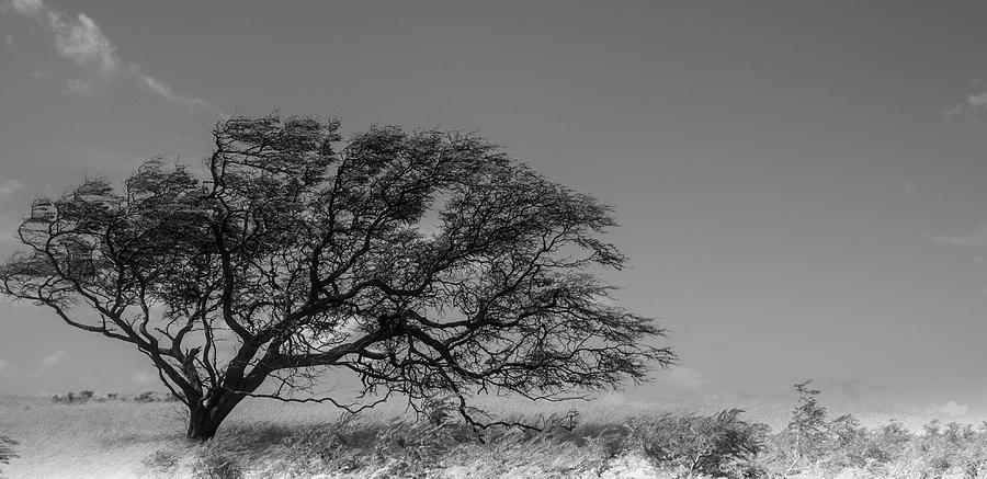 Maui Tree by Nick Knezic