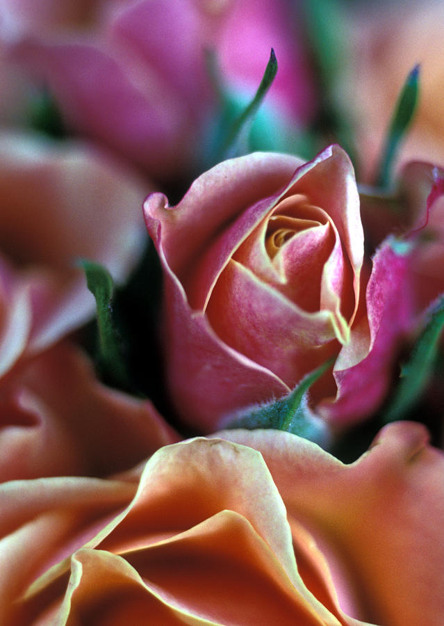 Roses Photograph - Mauve And Peach Roses by Kathy Yates
