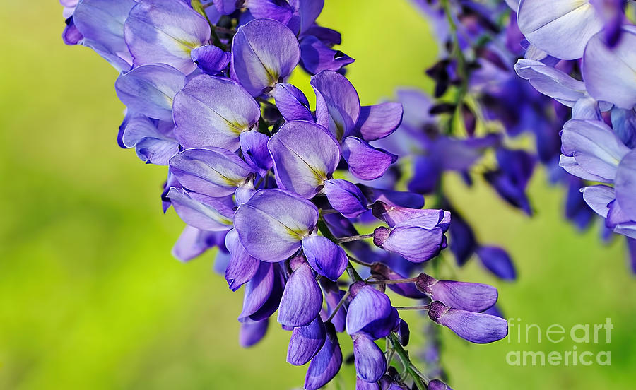 Photography Photograph - Mauve Wisteria by Kaye Menner