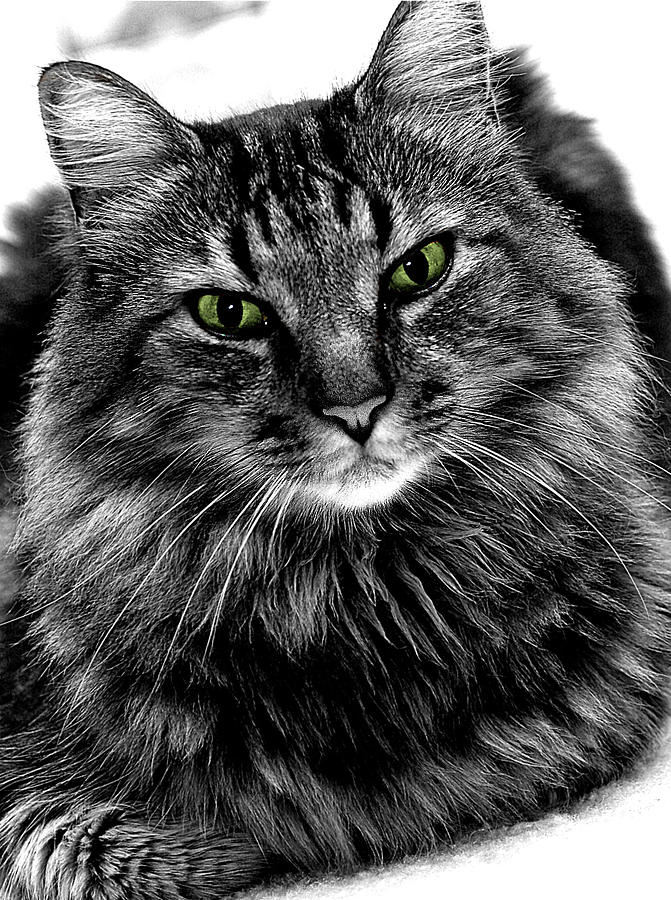 Cat Photograph - MAX by Michael Shreves