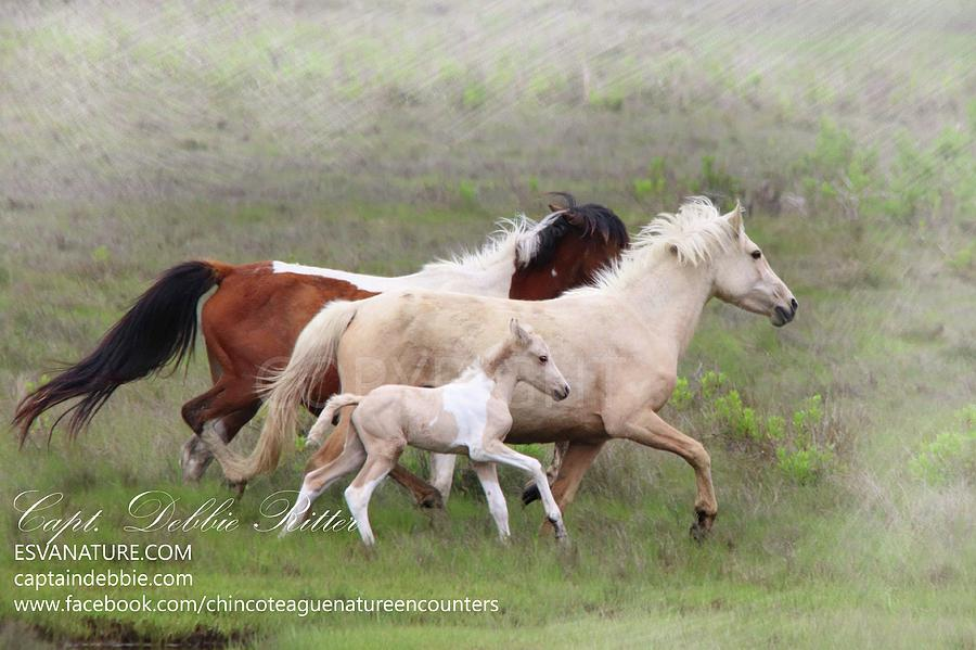 Wild Horses Photograph - Mayli Foal Running With Mama by Captain Debbie Ritter
