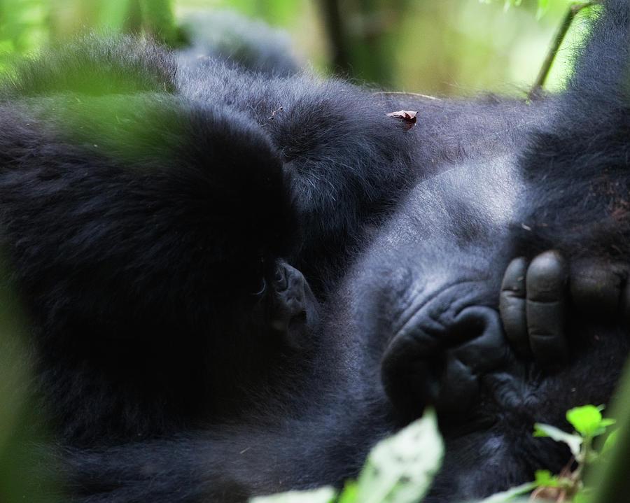 Gorilla Photograph - Me And Mom B by Jennifer K