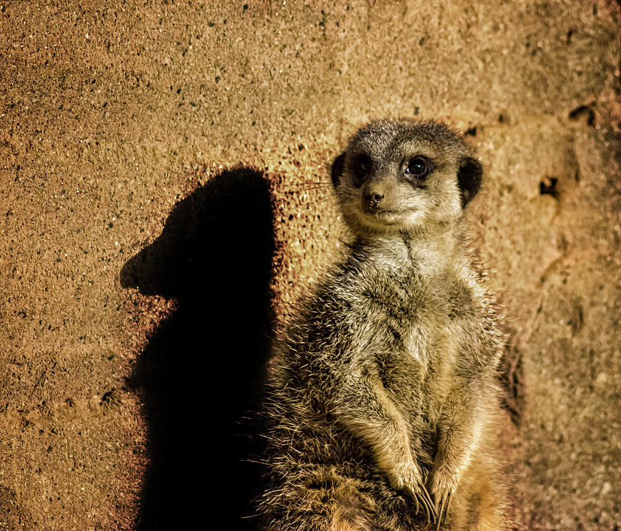 Meerkat Photograph - Me And My Shadow by Martin Newman