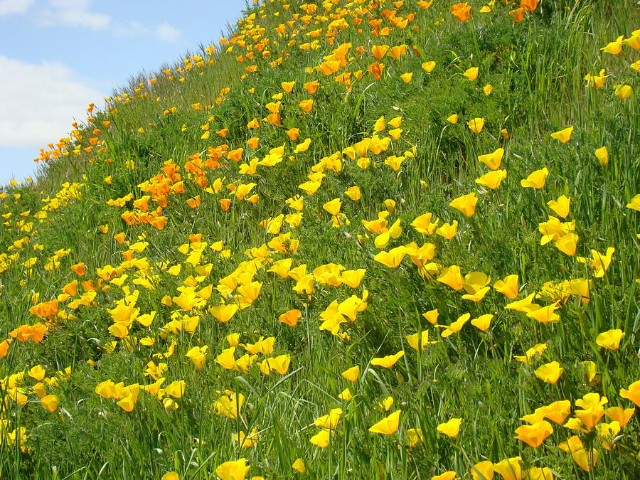 Poppies Photograph - Meadow Hillside Poppy Flowers 8 Poppies Artwork Gifts by Baslee Troutman