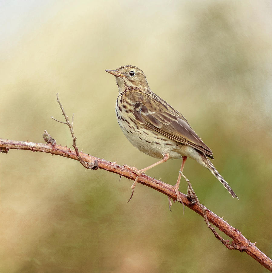 Meadow Pipit Photograph - Meadow Pipit by Roy McPeak