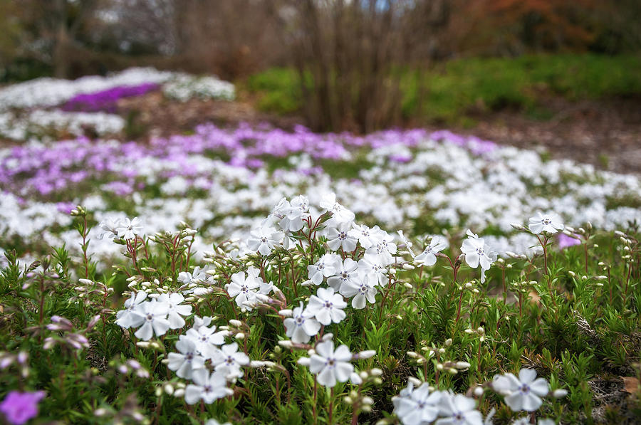 Australia Photograph - Meadow With Flowers At Botanic Garden In The Blue Mountains by Daniela Constantinescu