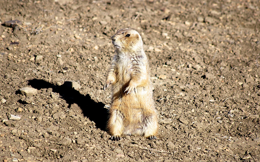 Prairie Dog Photograph - Mean Old Prairie Dog by Christopher Wood