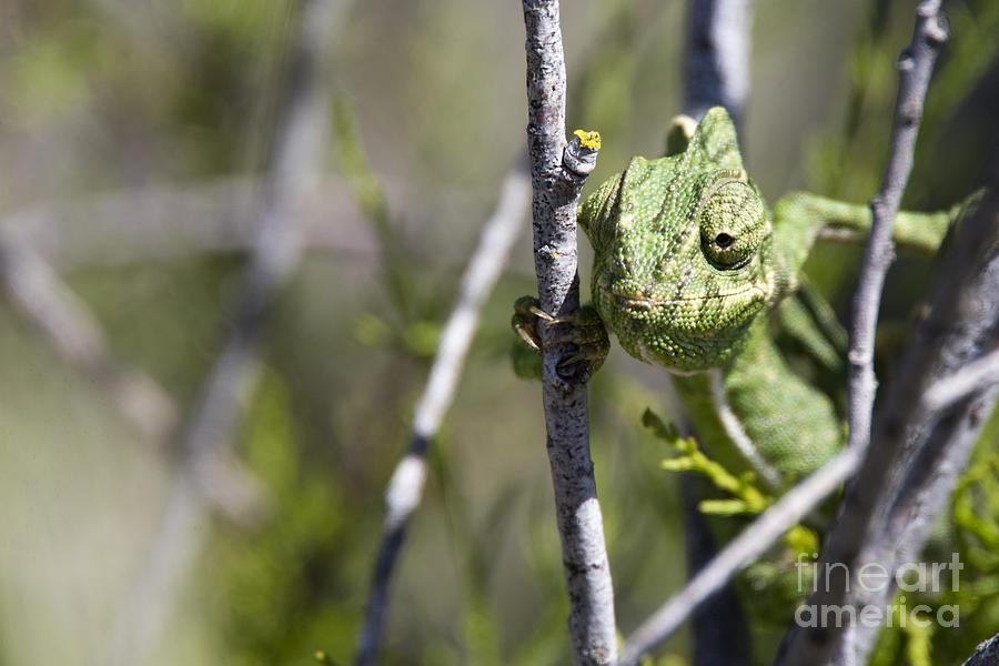 Mediterranean Chameleon by Tony Mills