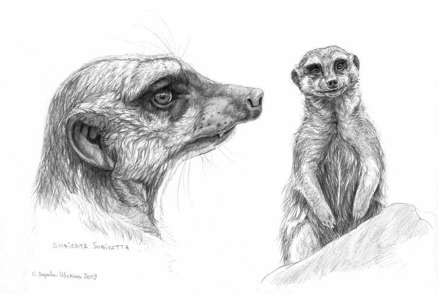 Suricata Drawing - Meerkat - Suricata Suricatta by Svetlana Ledneva-Schukina
