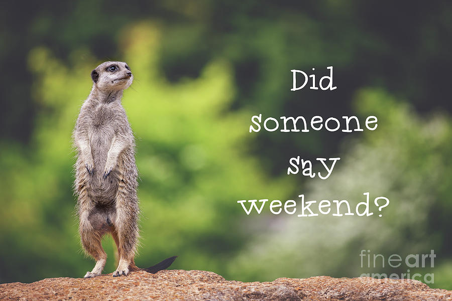 Meerkat Asking If It S The Weekend Yet Photograph By Jane Rix