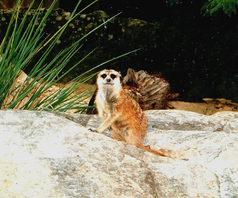 Meerkat Photograph - Meerkat by Darren Stein