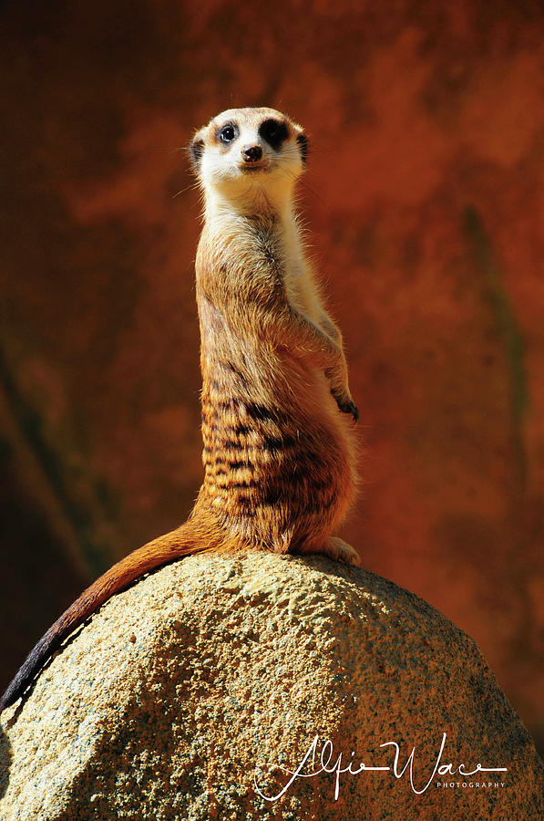 Albany Photograph - Meerkat I by Alfie Wace