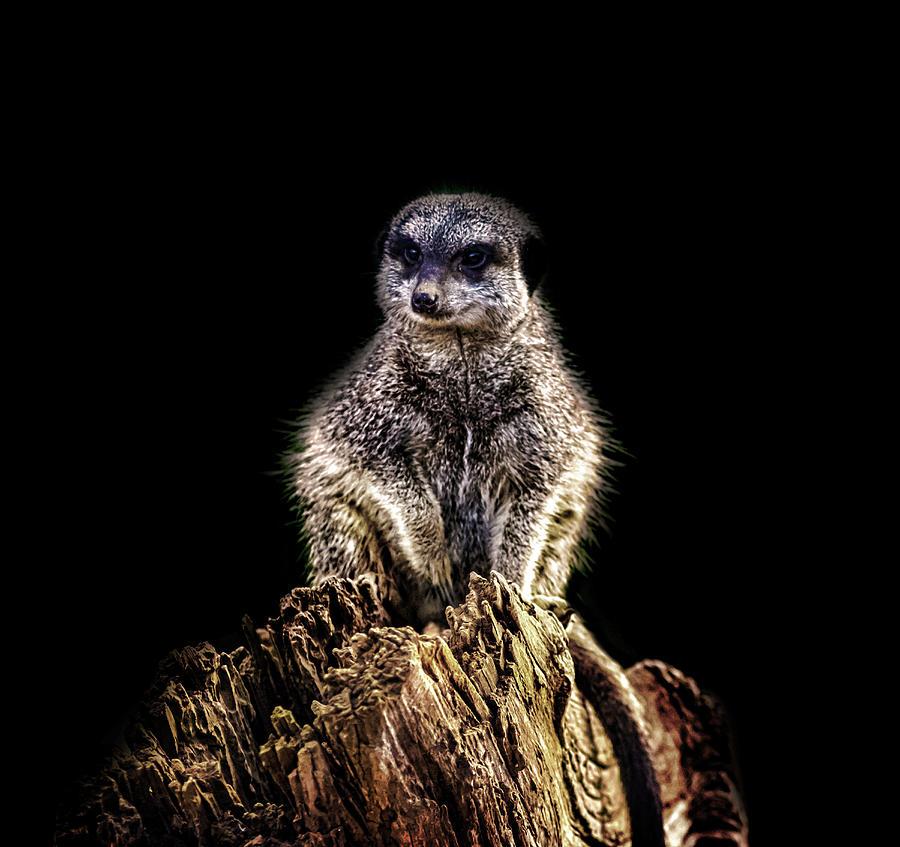 Animal Photograph - Meerkat Lookout by Martin Newman
