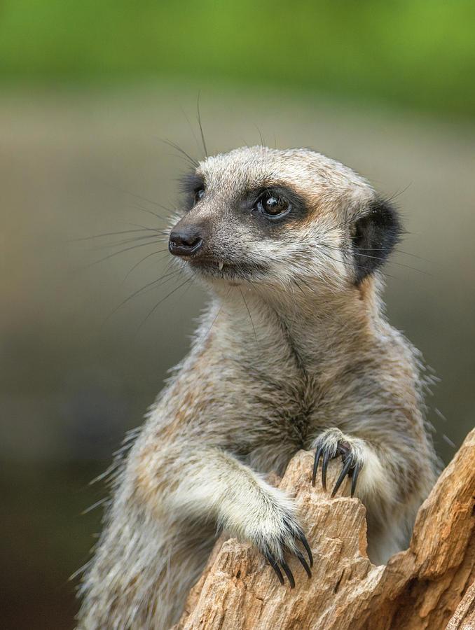 Meerkat Model by Racheal Christian
