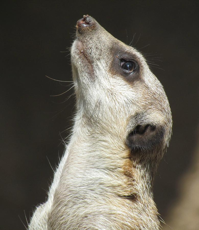 Meerkat Photograph - Meerkat#1 by Shelley Wilson