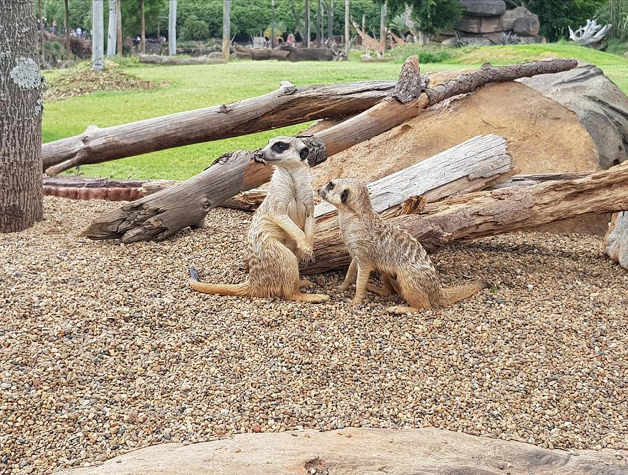 Meerkats  by Cassy Allsworth