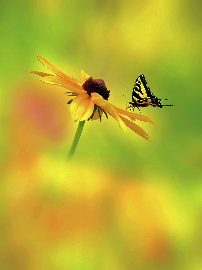 Tiger Swallowtail Photograph - Mellow Yellow by John Poon